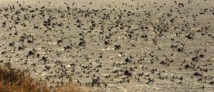 Pelicans Lake Cargelligo