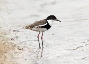 Lake Cargelligo birds