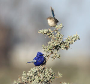 birds Lake Cargelligo